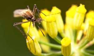 Mamy sposób wyeliminowanie malarii. Jednakże czy należy go użyć?