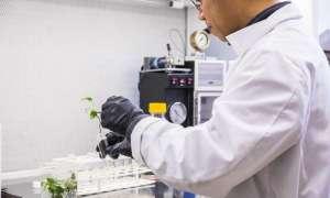 Zmodyfikowany bluszcz wykorzystuje królicze geny do oczyszczania powietrza