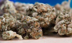 Super silna marihuana związana z częstszym występowaniem psychozy