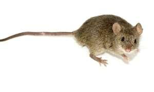Krople do oczu z nanocząsteczkami dały myszom zdolność widzenia w nocy