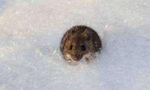Białko z krwi młodych myszy wydłuża życie starszych osobników