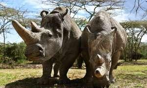 Jest szansa na ratunek dla nosorożca północnego