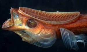 """Przyssawka inspirowana rybami działa lepiej niż """"oryginał"""""""