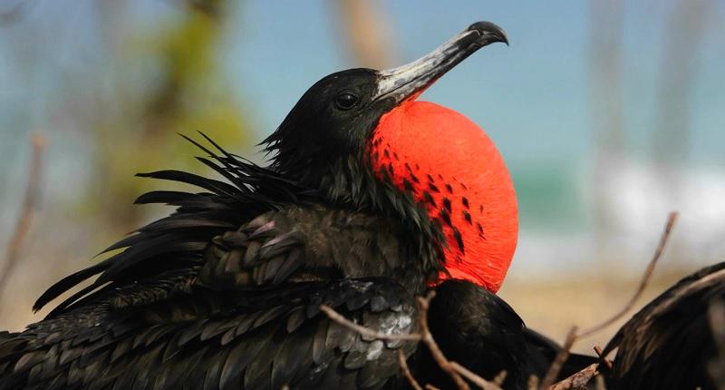 National Bird of Antigua and Barbuda