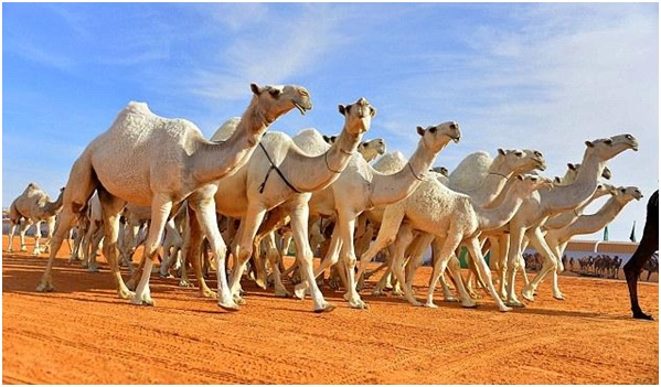 National Animal of Saudi Arabia