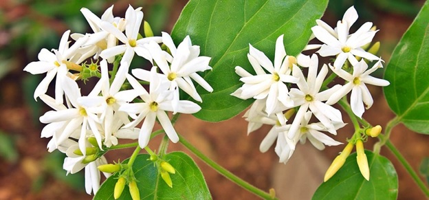 National Flower of Pakistan