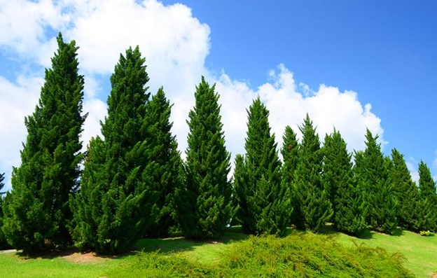 National Tree of Pakistan