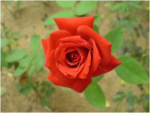 What Is The National Flower of Czech Republic?
