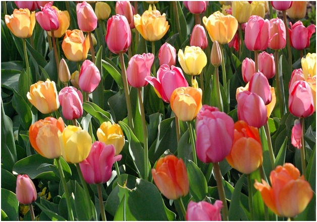 What Is The National Flower of Kyrgyzstan?