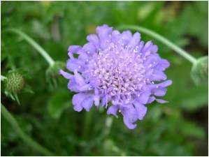 What Is The National Flower of Mongolia?