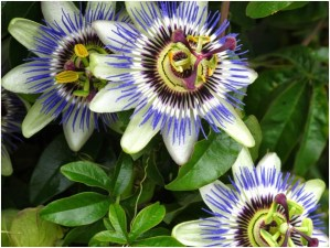 What Is The National Flower of Paraguay?