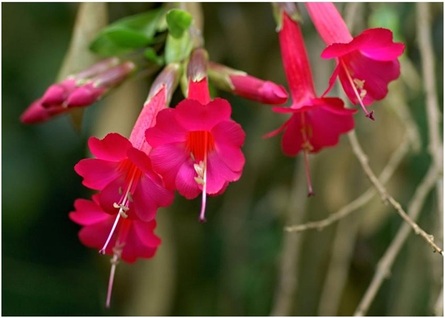 What Is The National Flower of Peru?