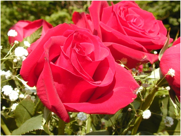 What Is The National Flowerof Romania?