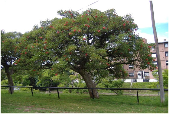 What is The National Tree of Argentina?