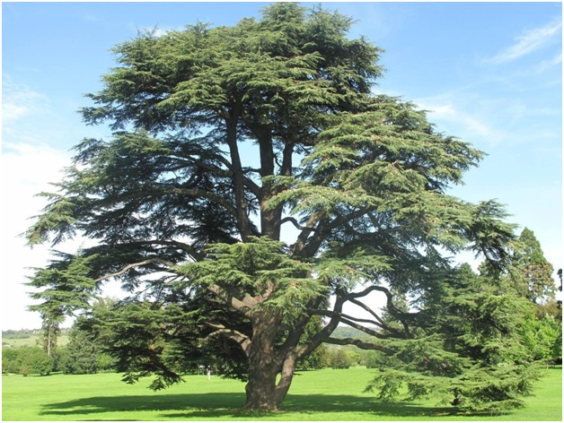 What is The National Tree of Iran?