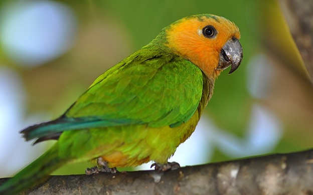 What is the National Bird of Aruba?