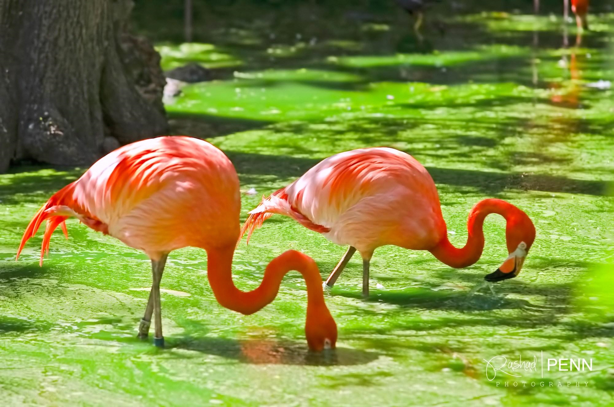 What is the National Bird of Bahamas?