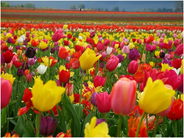 What Is The National Flower of Turkey?