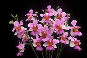 What Is The National Flower of Singapore?