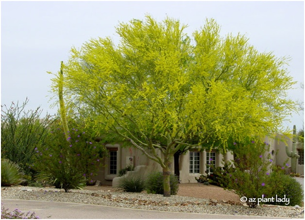 What Is The State Tree of Arizona?
