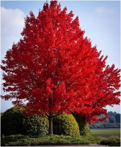 What Is The State Tree of Rhode Island?