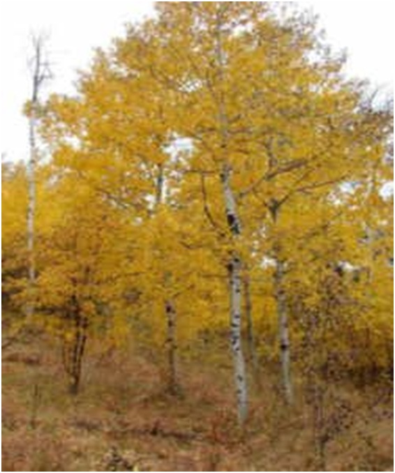 What Is The State Tree of Utah?