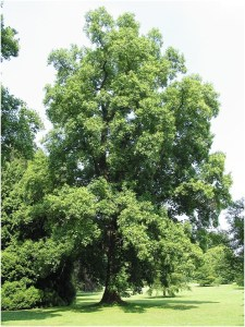 What Is The State tree of Kentucky?