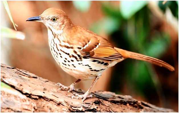What is the Georgia State Bird?