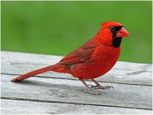 What is the Illinois State Bird?