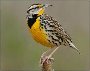 What is the Kansas State Bird?