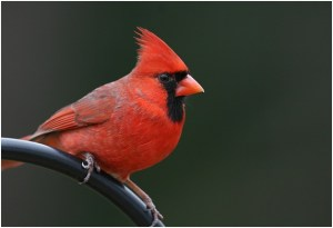 What is the Kentucky State Bird?