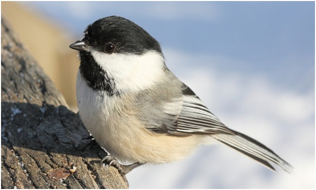 What is the Maine State Bird?   WhatsAnswer