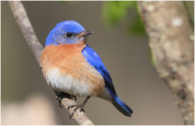 What is the Missouri State Bird?