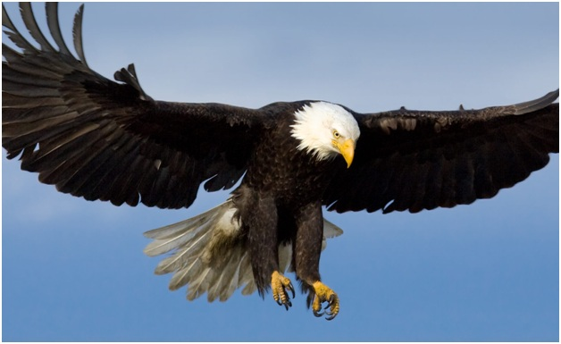 What is the National Bird of USA?