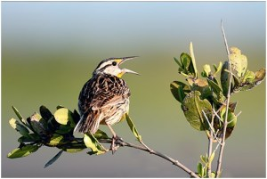 What is the Nebraska State Bird?