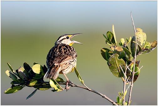 What is the Nebraska State Bird?