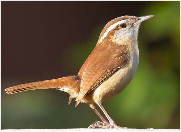 What is the South Carolina State Bird?