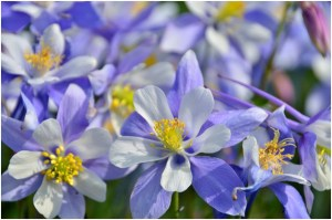 What is the State Flower of Colorado?