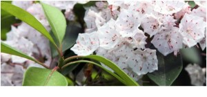 What is the State Flowers of Connecticut?