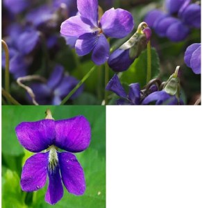 What is the State Flowers of Rhode Island?
