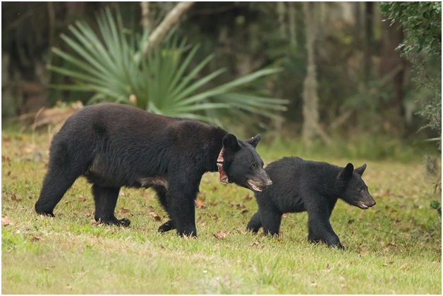 What is the State Mammal of Louisiana?