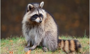 What is the State Wild Animal of Tennessee?