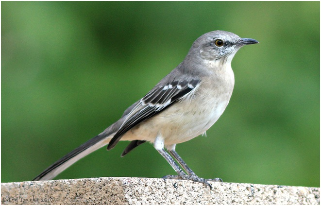 What is the Tennessee State Bird?
