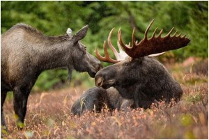 What is the state land mammal of Alaska?