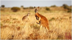 What is the National Animal of Australia?