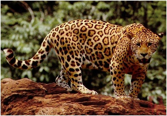 What is the National Animal of Brazil?