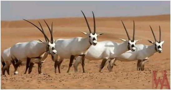 What is the National Animal of United Arab Emirates?