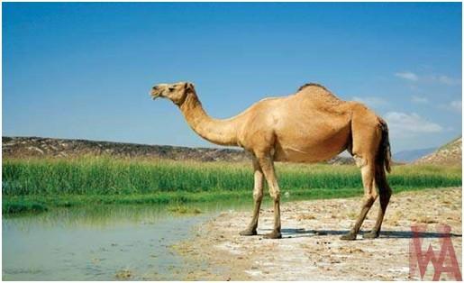 What is the National animal of Saudi Arabia?