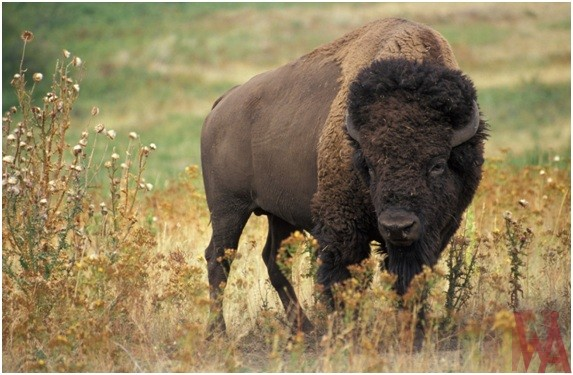 What is the State Mammal of United States of America?