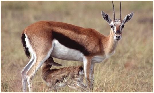 National Animal of Malawi